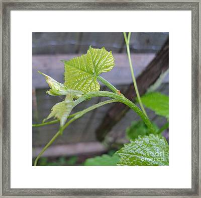 New Grape Leaves Framed Print