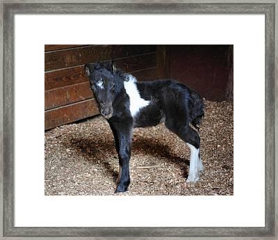 New Life Miniature Pony Framed Print by Jai Johnson