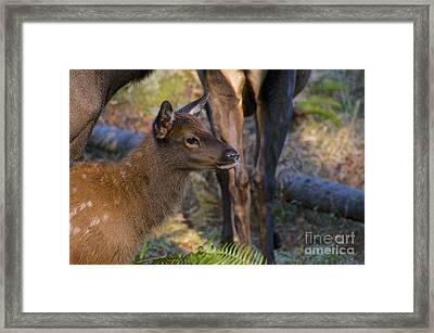 Newborn Elk Framed Print by Sean Griffin