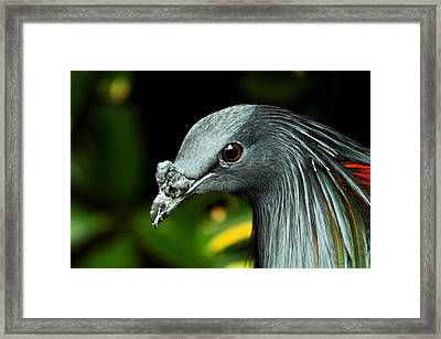 Nicobar Pigeon Framed Print by Puzzles Shum
