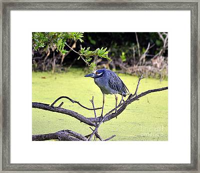 Night-heron Framed Print by Al Powell Photography USA
