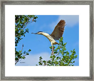 Night Heron Building Nest Framed Print