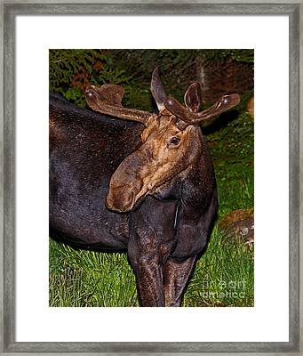 Night Moose 1 Framed Print by Lloyd Alexander
