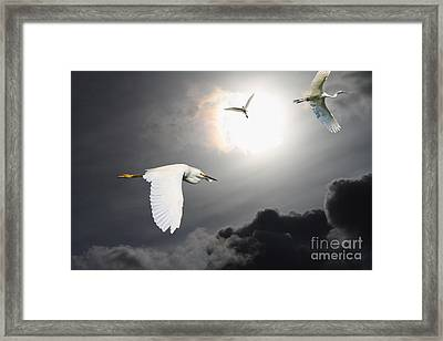 Night Of The White Egrets Framed Print by Wingsdomain Art and Photography