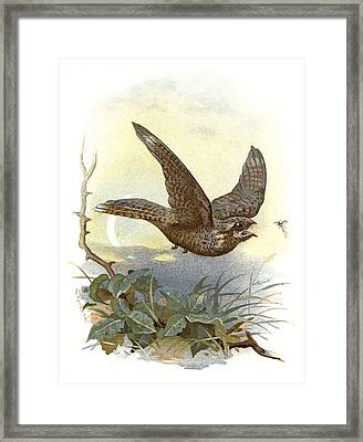 Nightjar, Historical Artwork Framed Print by Sheila Terry