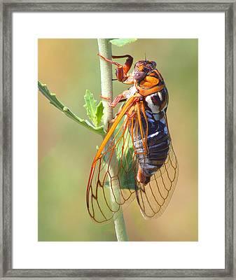 Noisy Cicada Framed Print by Shane Bechler