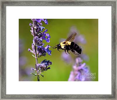 Non Stop Flight To Pollination Framed Print by Sue Stefanowicz
