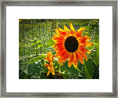 Noontime Sunflowers Framed Print by Jiayin Ma