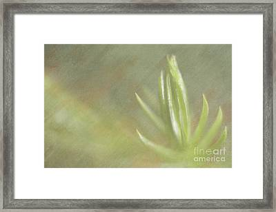 Norfolk Pine Tip Framed Print by Christine Amstutz