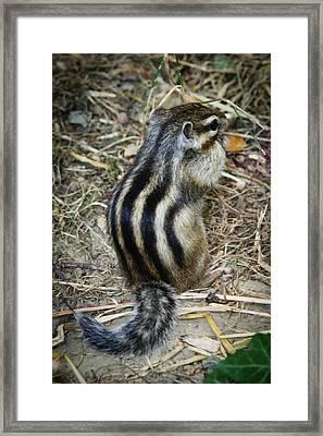 North American Striped Squirrel Framed Print