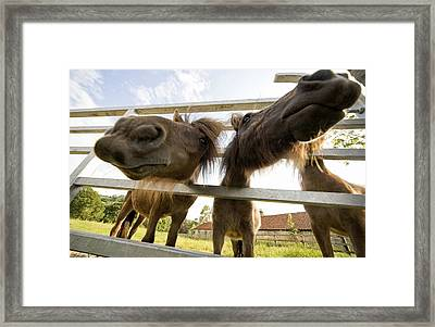 North Yorkshire, England Horses Looking Framed Print by John Short