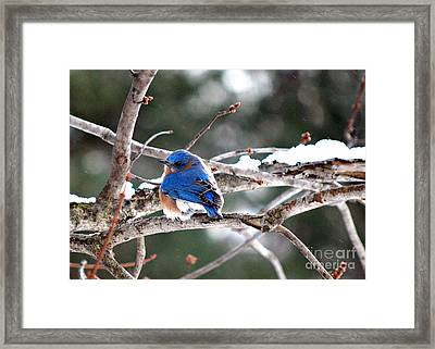 Northern Bluebird Framed Print by Lila Fisher-Wenzel