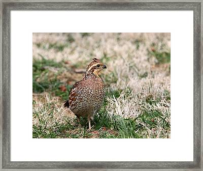 Northern Bobwhite Quail Framed Print by Jack R Brock