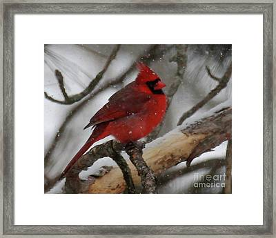 Northern Cardinal In Snowstorm Framed Print
