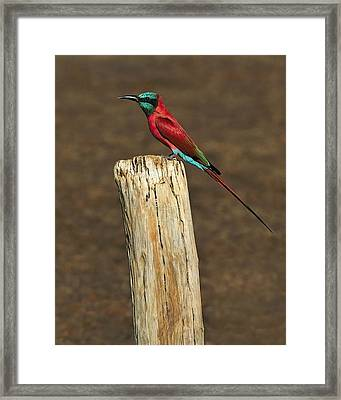 Northern Carmine Bee-eater Framed Print by Tony Beck