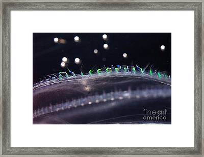Northern Comb Jelly Framed Print by Ted Kinsman