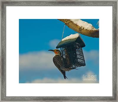 Northern Flicker Framed Print by Harry Strharsky
