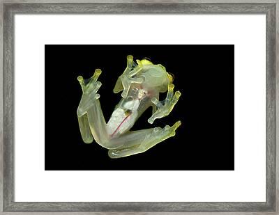 Northern Glassfrog Hyalinobatrachium Framed Print by Thomas Marent