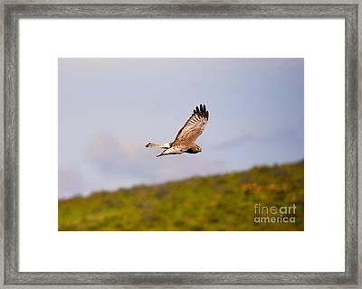Northern Harrier Flight Framed Print by Mike  Dawson