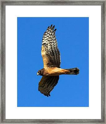 Northern Harrier Hawk Framed Print
