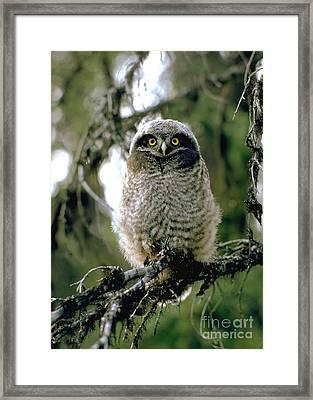 Northern Hawk Owl Fledgeling Framed Print by Doug Herr
