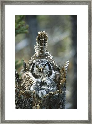 Northern Hawk Owl Surnia Ulula At Nest Framed Print by Michael Quinton