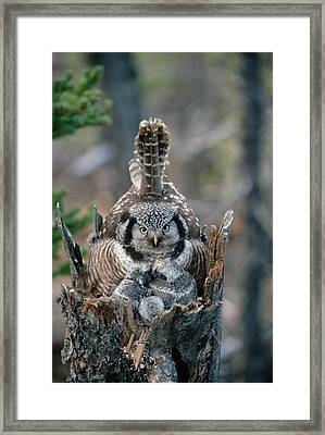 Northern Hawk Owl Surnia Ulula Parent Framed Print by Michael Quinton