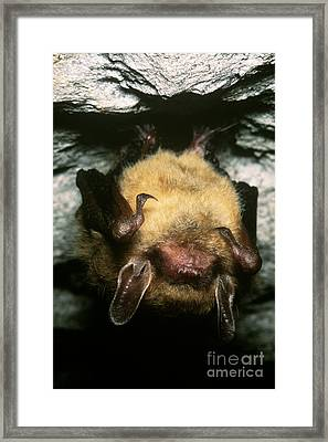 Northern Long-eared Bat Framed Print by Dante Fenolio
