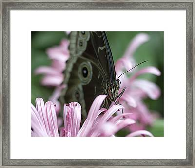 Northern Pearly-eye On Pink Framed Print