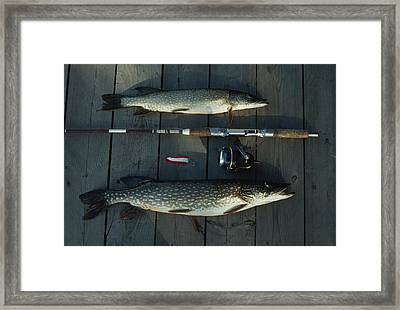 Northern Pike, A Spinning Rod And Lure Framed Print by Gordon Wiltsie