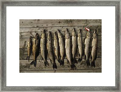 Northern Pike And Walleye Left Framed Print by Gordon Wiltsie