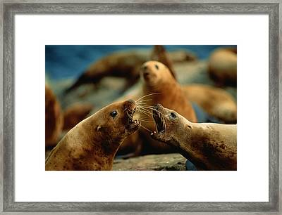 Nose-to-nose, Two Steller Sea Lion Cows Framed Print