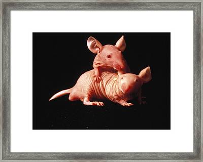 Nude Mice Used In Animal Experiments Framed Print by National Cancer Institute