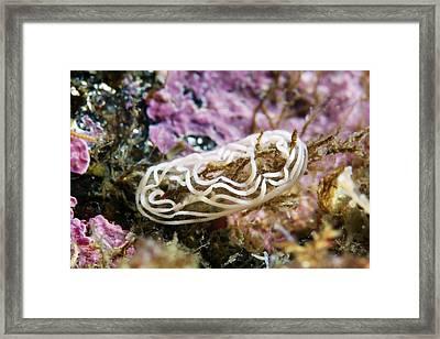 Nudibranch Eggs Framed Print by Alexander Semenov