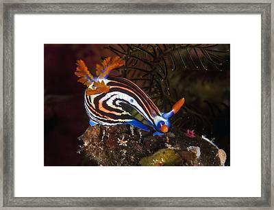 Nudibranch Framed Print by Matthew Oldfield