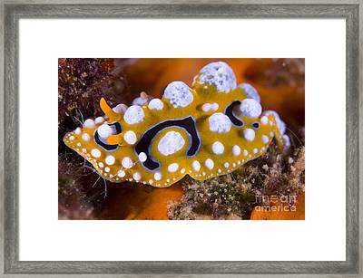 Nudibranch On Coral, Papua  New Guinea Framed Print by Steve Jones