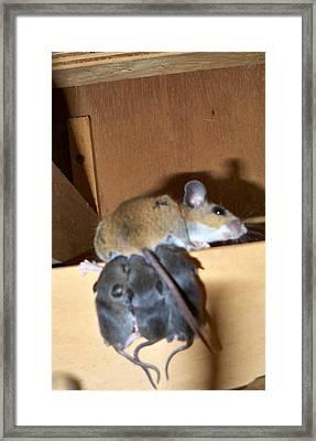 Nursing Baby Mice Framed Print by Danielle Mell