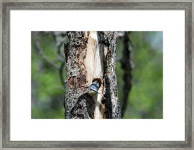 Nuthatch At Nest Site Framed Print