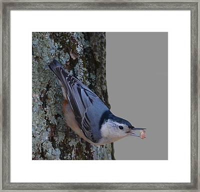 Framed Print featuring the photograph Nuthatch by Brian Stevens