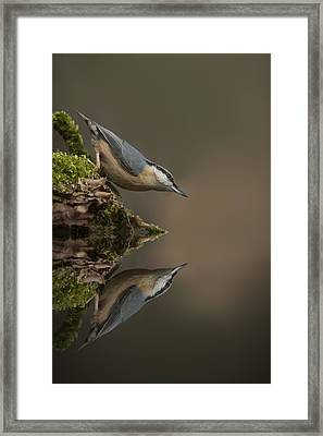 Nuthatch Reflection Framed Print