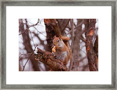 Framed Print featuring the photograph Nutty Squirrel by Josef Pittner