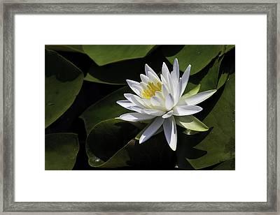Nymphaea Marliacea 'albida' Framed Print