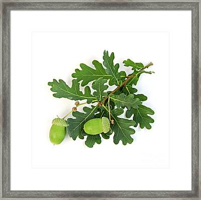Oak Branch With Acorns Framed Print by Elena Elisseeva