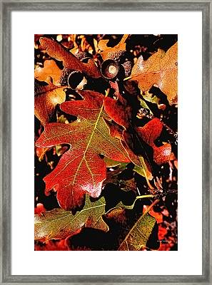 Oak Colors Framed Print by Darryl Gallegos