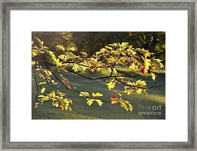 Oak Leaves In The Sunlight Framed Print