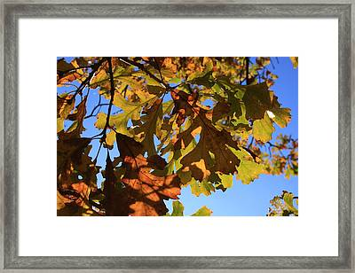 Oak Leaves With Backlighting Framed Print by Lyle Hatch