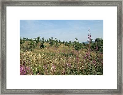 Oak Reforestation Framed Print by David Aubrey