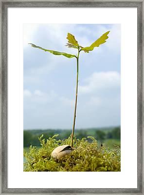 Oak Sapling (quercus Robur) Framed Print by Georgette Douwma