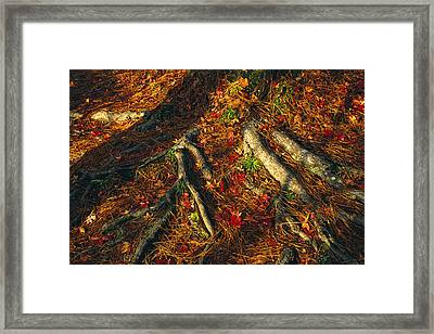 Oak Tree Roots And Pine Needles Framed Print by Raymond Gehman