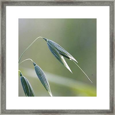 #oat #spica #decorative #cereal #plant Framed Print by Andrei Vukolov
